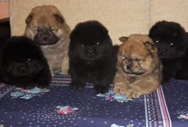 Chow Chow štenci