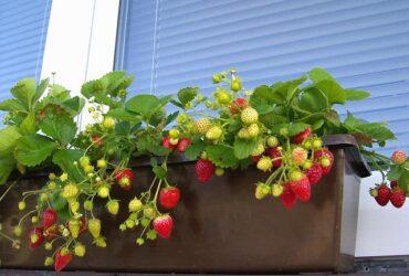 Sadnice stalnoradjajuce jagode – nemacka sorta