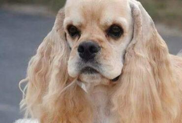 AMERIČKI KOKER ŠPANIJEL vrhunski štenci