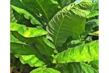 Seme duvana