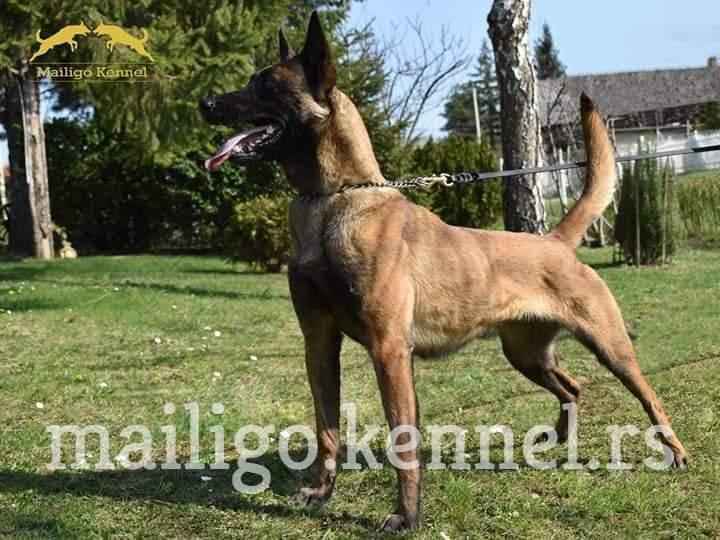 Žensko štene Belgijskog ovčara – MALINOA
