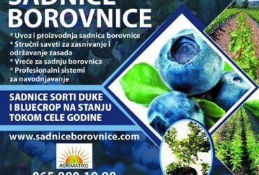 Sadnice borovnice, rasadnik Agrimatiko, AVALA, Beograd