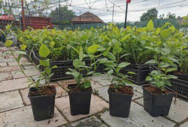 Jednogodisnje sadnice borovnica, Duke, Bluecrop i Chandler