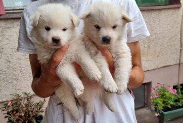 NEMAČKI ŠPIC dva muška šteneta