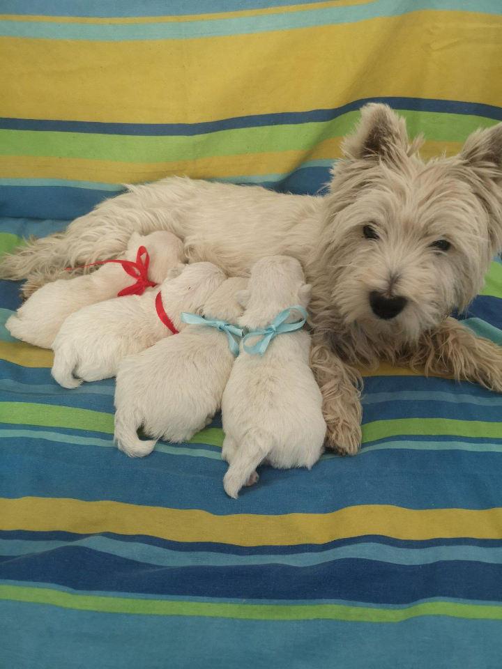 Zapadnoškotski beli terijer štenci