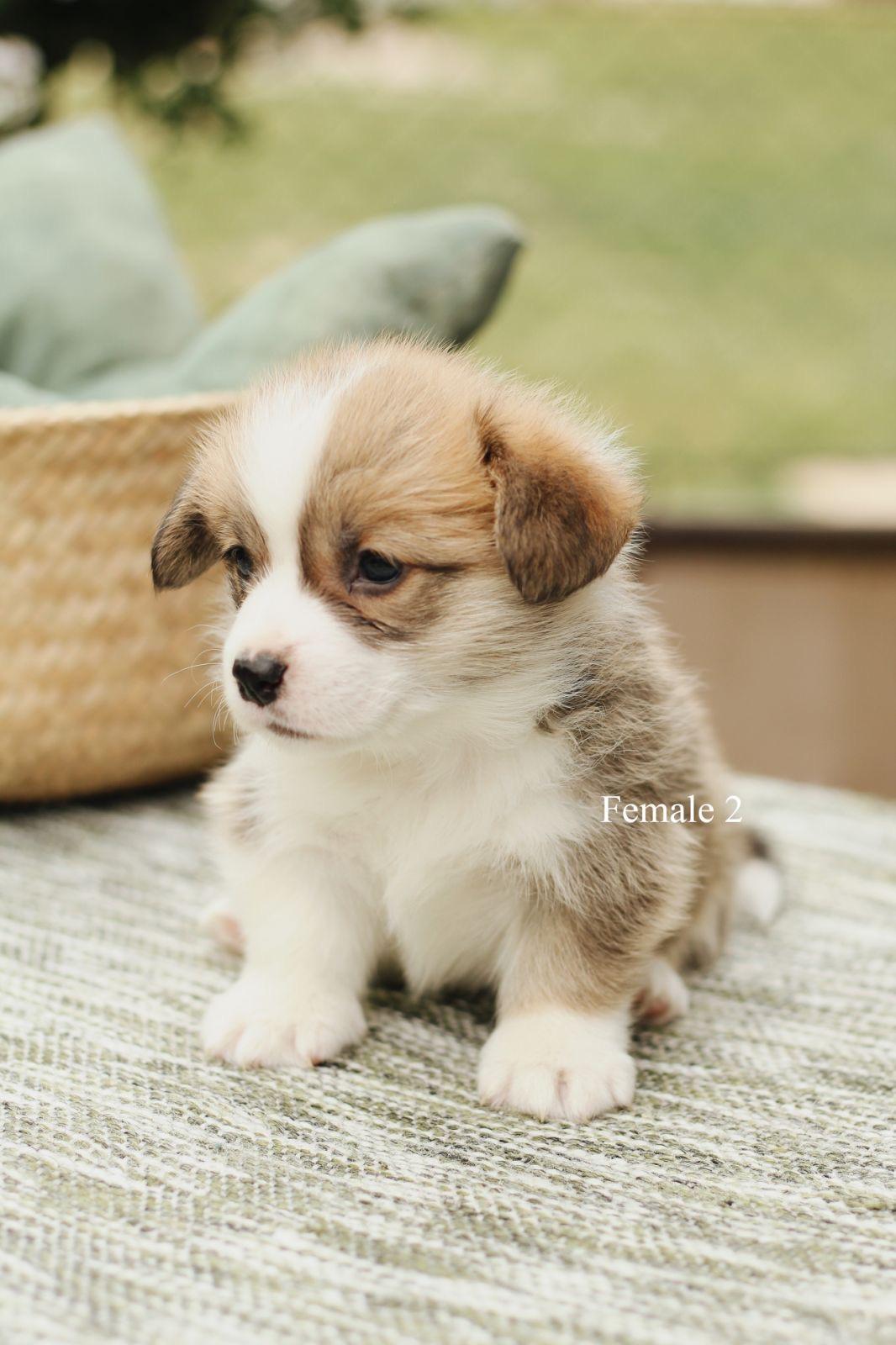 Velški korgi – pembrok štenci