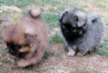 PEK-A-POM štenci