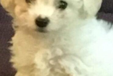 Na prodaju štenci BIŠONA