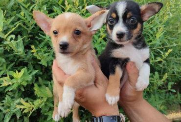 Mikro ČIVAVE štenci