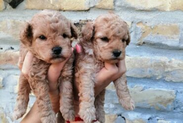 Toy pudla štenci