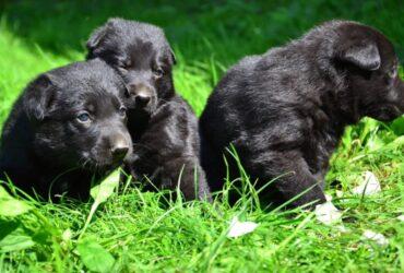Crni NEMAČKI OVČAR štenci