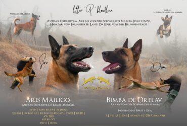 Na prodaju štenci Belgijskog ovčara – Mailigo Kennel