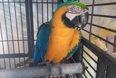 Ručno uzgajane plave i zlatne papige ara