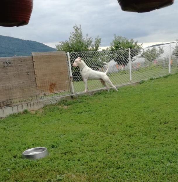 Argentinski pas parenje