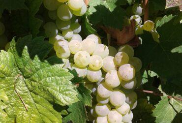 Prodajem bele sorte grožđa