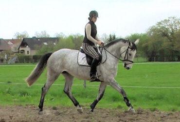 Na prodaju prekrasan hanoverijski konj kobila