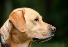 U Nišu napravljena prva personalizovana proteza za pse