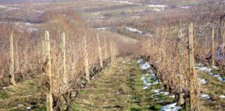 U Humu obred rezanja vinove loze povodom Sv. Trifuna