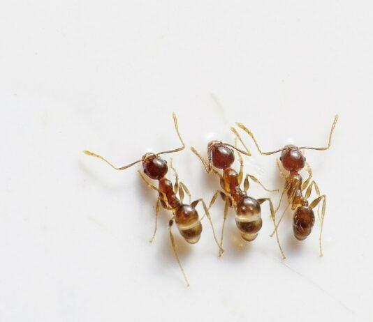 žuti mrav