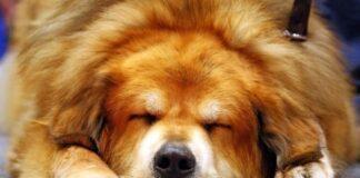 najskuplji pas na svetu