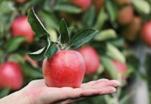 svetski dan jabuke